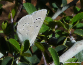 Photo: Boisduval's blue, Plebejus icarioides