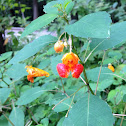 Orange Jewelweed
