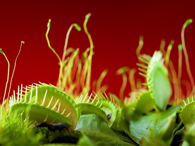 Download Venus Fly trap Pack 2 LWP by