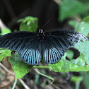 Great Mormon Butterfly (male)