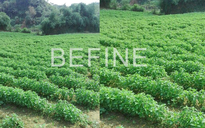 Vùng nguyên liệu sản xuất tinh dầu bạc hà Befine, được trồng canh tác sạch không hóa chất (theo hướng hữu cơ) tại: Thôn Tân Sơn, xã Thạch Sơn, huyện Thạch Thành, tỉnh Thanh Hóa.