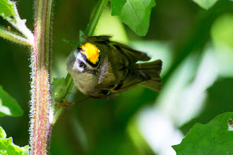 Photo: Golden-crowned Kinglet - photo Dan Kelly: http://www.allaboutbirds.org/guide/golden-crowned_kinglet/lifehistory