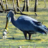 Great blue heron (eating a Bull frog)