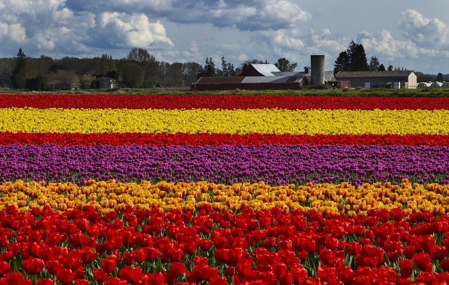 Celebration by Gabriel Gutierrez - Flowers Flower Gardens ( colorful, tulips, travel, skagitvalleytulipfestival, spring,  )