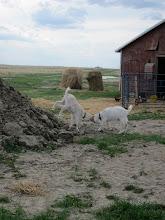 Photo: Goaty play