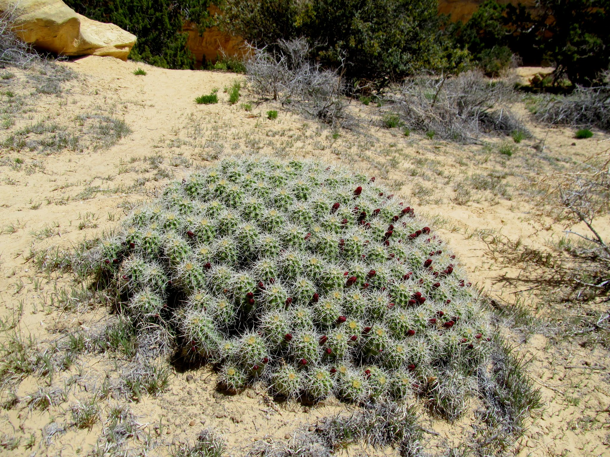 Photo: Monstrous mound of Claret Cup Cactus