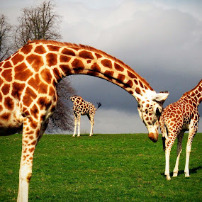 Giraffes in Perspective by Oona Tully - Animals Other Mammals