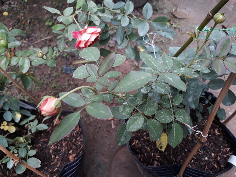 Hình dáng lá hồng leo Soleil Romantica rose