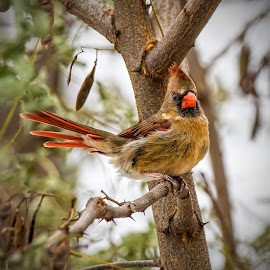 Bird by Paul Drajem - Uncategorized All Uncategorized ( nature, wings, outside, feathers, up close, cardinal, birds, female,  )