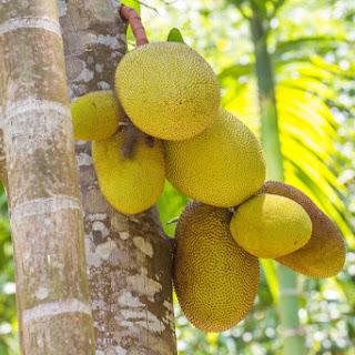 Breadfruit Recipes