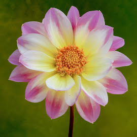 Friday Flower by Jim Downey - Flowers Single Flower ( gold, green, yellow, purple, petals )