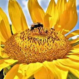 Sunflower by Teresa Wooles - Flowers Single Flower ( flowers, yellow flower, sunflower, flower,  )
