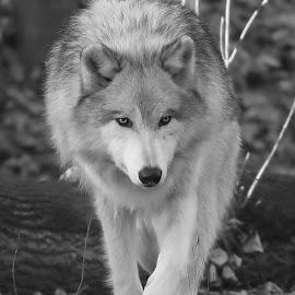 Lupul în timpul iernii by Big Pikey - Black & White Animals ( late evening wolf, walking wolf, wolf, black and white wolf, grey wolf, monochrome wolf, adult wolf,  )
