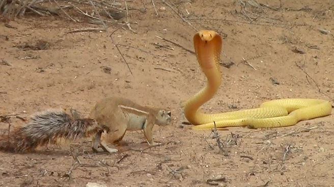 WATCH | Brave squirrel mom outsmarts deadly cobra, sending it slithering back into hole