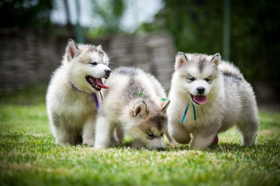 Fun by Silviu Cozma - Animals - Dogs Puppies ( playing, puppies, fun, dog,  )
