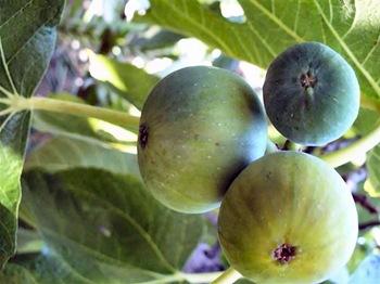 figs2 (Medium)