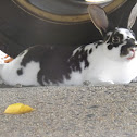 Black-and-white Mini Rex