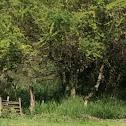 Kiawea