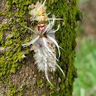 Schaus' Tussock Moth Caterpillar