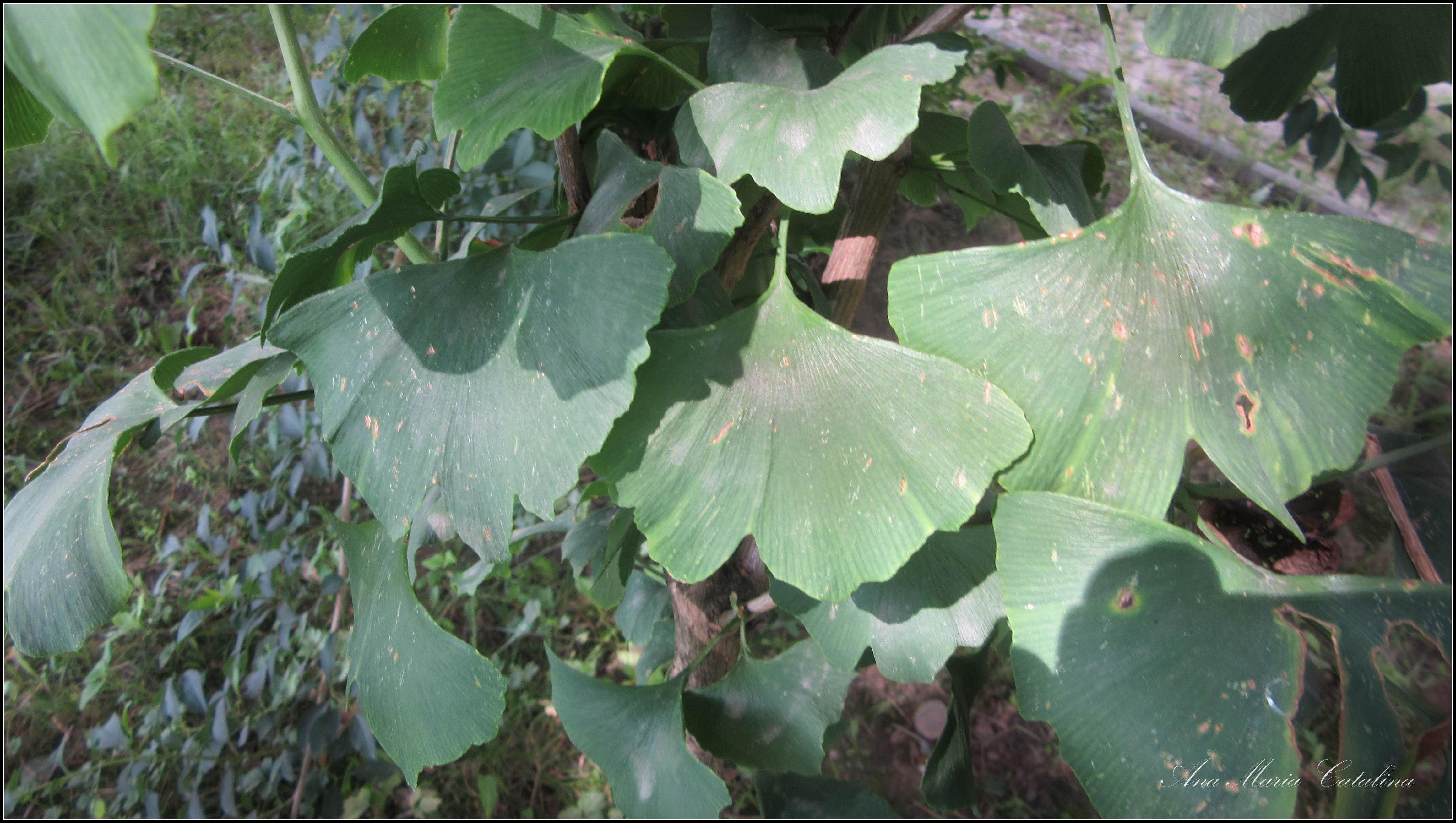 Photo: Arborele pagodelor  (Ginkgo biloba) - din Parcul Tineretului la intrarea dinspre pod - 2016.06.29 album http://ana-maria-catalina.blogspot.ro/2016/07/arborele-pagodelor-ginkgo-biloba.html