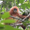 Red Leaf Monkey or Maroon Langur