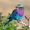 Carraca lila (Lilac-breasted roller)