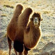 Сон верблюд