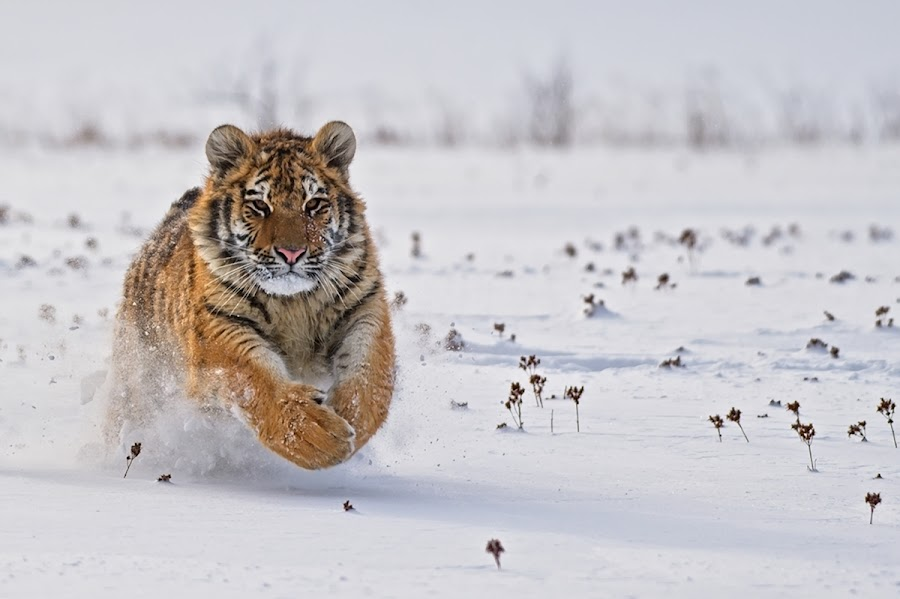 Race by Bencik Juraj - Animals Lions, Tigers & Big Cats ( big cat, beast, predator, winter, tiger,  )