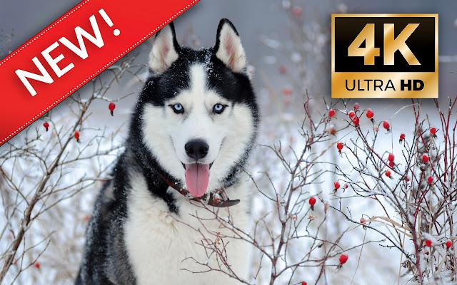 Siberian Husky HD Wallpapers - Custom New Tab