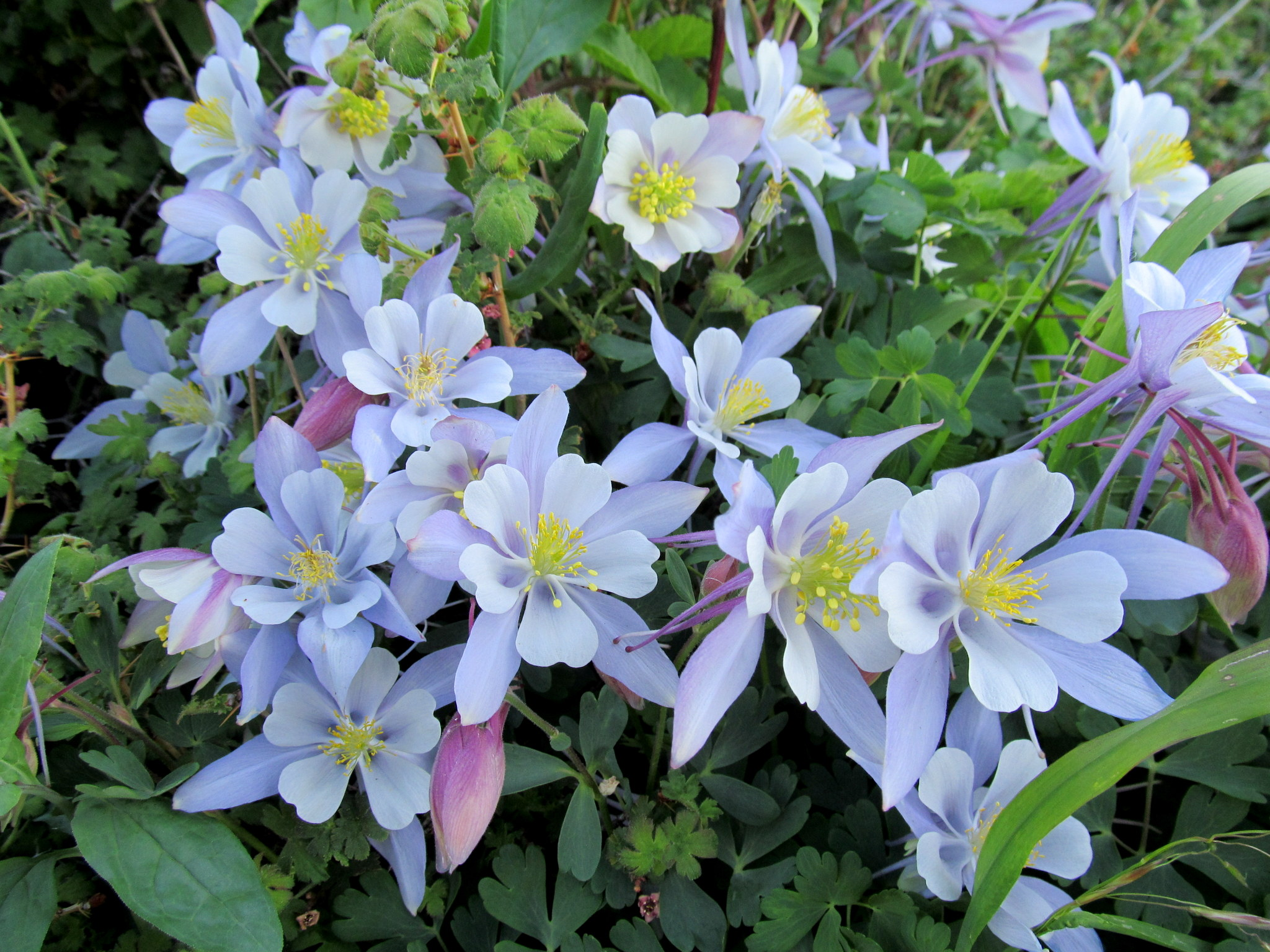 Photo: Colorado Columbine