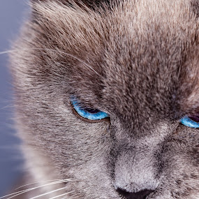 I'm Not Happy! by Judy Wright Lott - Animals - Cats Portraits ( unhappy, cats, animals, bellingham, nature, blue-eyes, felines, siamese )