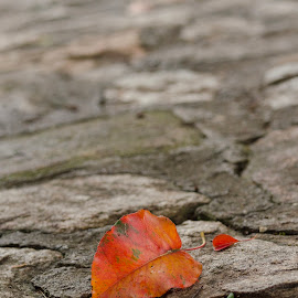 Fall's First Leaf by Lee Tillmon - Nature Up Close Leaves & Grasses ( thoughts, lovely, seasons, fall colors, leafs )