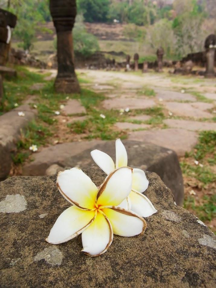 (ラオス南部、世界遺産ワットプーのチャンパーの花。筆者撮影)