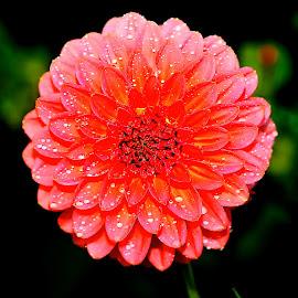 Dalhia n000229 by Gérard CHATENET - Flowers Single Flower