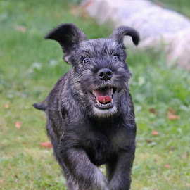Happy puppy by Mia Ikonen - Animals - Dogs Puppies ( running, mia ikonen, puppy, happy, playing, canine, standard schnautzer, funny, pet, finland )