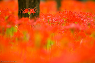 Photo: A field of red Equinox Flowers.