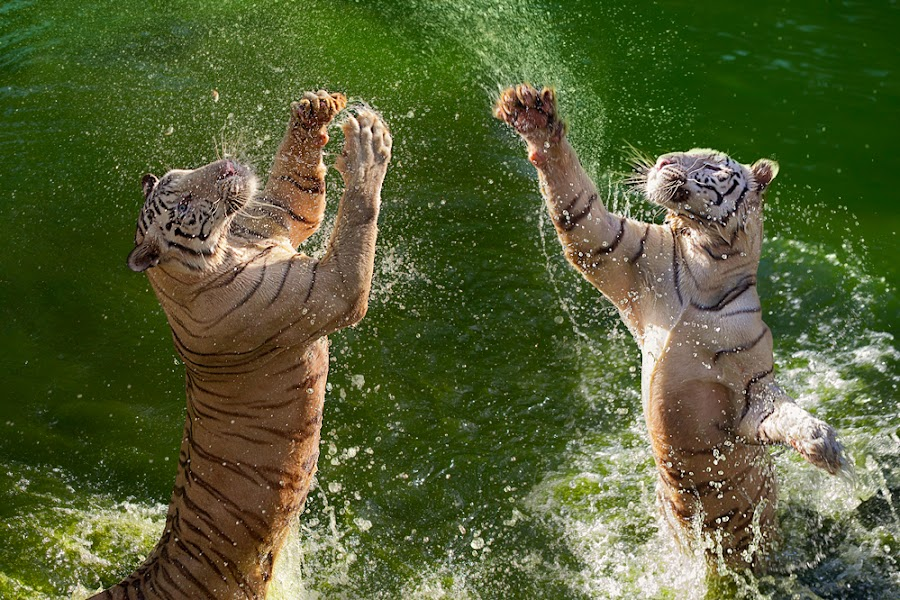 by Charlie Rosadi - Animals Lions, Tigers & Big Cats