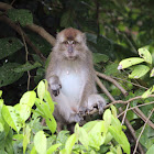 Long-tailed Macaque or Crab-eating Macaque