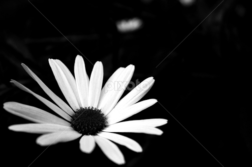 White dream flowers plants black white pixoto white dream by nihat demir black white flowers plants black and white mightylinksfo