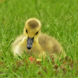 Just Chillin by Kathy Woods Booth - Animals Birds ( canada goose, goose, bird photography, yellow, fluffy )