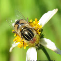Spotted-eye Hoverfly