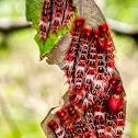 Borboleta-da-Coronilha / Epistrophus White Morpho