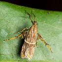 Long Horned Moth