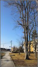 Photo: Fag (Fagus sylvatica) - din Parcul Mr.1 - 2017.02.11
