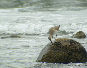 Photo: Willet picking food off a rock, Aticama River mouth, Matanchen Bay
