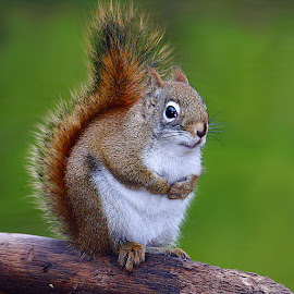 American Red squirrel by Gérard CHATENET - Animals Other Mammals