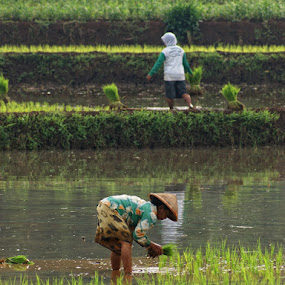 by Ayah Adit Qunyit - Professional People Agricultural Workers (  )