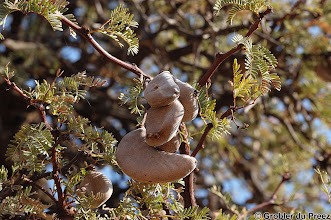 Photo: The seed pods of the Camel Thorn tree. The park name, Mokala, is the Tswana name for this tree, Acacia erioloba. The tree grow up to 17m high and the seed pods are up to 10 cm in length. The seeds are very hard and brown and will only germinate after  being soaked in hot water for some time. Apparently the seed can be roasted as substitute for coffee beans.