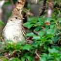 Guaracava-de-bico-curto (Small-billed Elaenia)