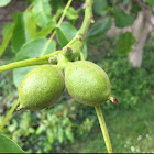 Common walnut
